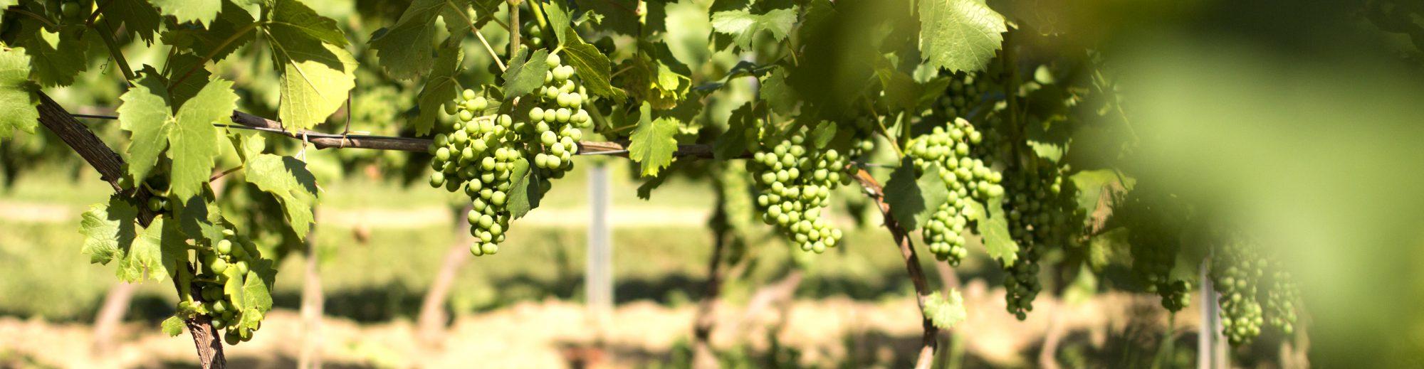 Vanellus – Winnica | Winnica w Jareniówce koło Jasła | Winnica na Podkarpaciu