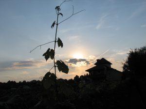 Winnica Vanellus - Gdy zachodzi słońce